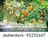 agriculture farm mandarin orange tree in garden - stock photo