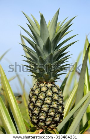 Agriculture farm Pineapple at field and blue sky