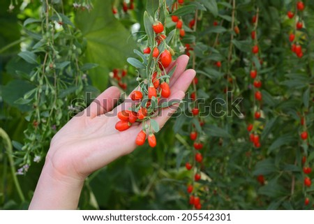 Agriculture, farmer holding goji berry fruit in hands, healthy eating - stock photo