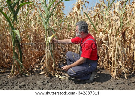 Agriculture, farmer or agronomist examine corn plant in field after drought - stock photo