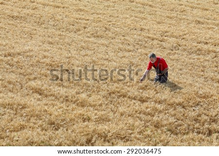 Agriculture, farmer or agronomist inspect quality of wheat in field ready to harvest - stock photo