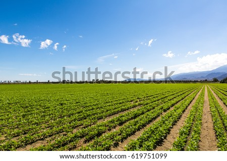 Agriculture Fertile Field of Organic Crops. Organic Crops Grow on Fertile Farm Field in California. Vegetables in a row, clear skies and mountains in the background.  Rural scene near Palm Springs