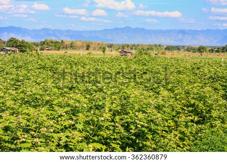 agriculture field with blue sky