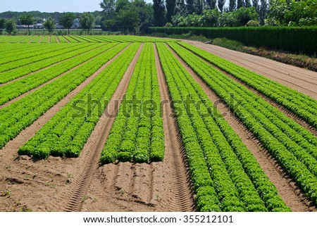 Agriculture field with rows of green lettuce