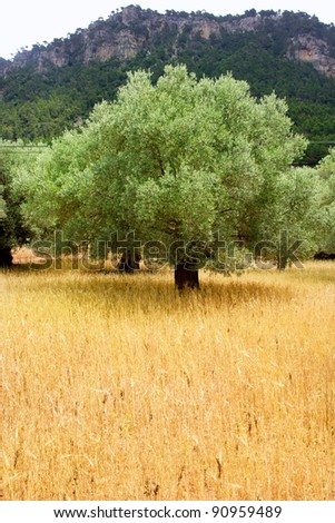 Agriculture from mediterranean Majorca wheat mixed with olive trees - stock photo