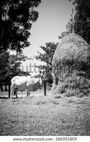 Agriculture from northeast of Thailand with a cow and straw on black and white color - stock photo