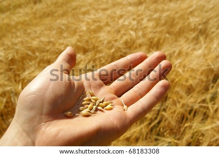 Agriculture, grain seed in hand, wheat, farming background. - stock photo