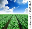 agriculture green grass blue sky background nature landscape park outdoor - stock photo
