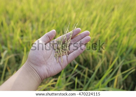 Agriculture. Hand tenderly touching a raw paddy at the paddy field. Growing and nuturing rice