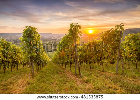 Agriculture in a German vineyard with gape vines and sunset