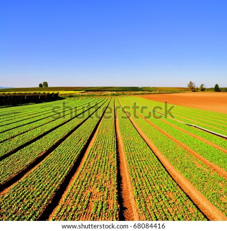 Agriculture landscape with rows of salad - stock photo