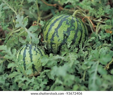 Agriculture - Natural watermelon growing in the field. - stock photo