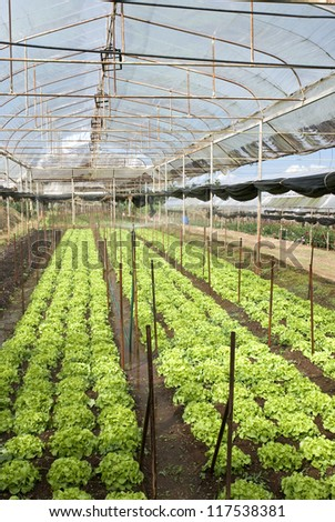 Agriculture of Iceberg Lettuce in organic farm at Khunwang Royal Agriculture Station, Thailand - stock photo