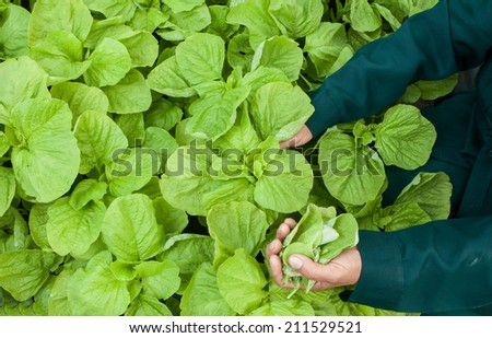 Agriculture of lettuce - stock photo