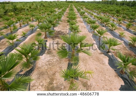 Agriculture of ornamental palm trees rows plantation - stock photo