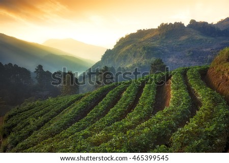 Agriculture on the mountain - Strawberry farm in the morning at Angkhang Royal Agricultural Station in Chiang Mai, Thailand.