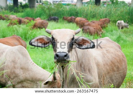 agriculture,ox,cow - stock photo