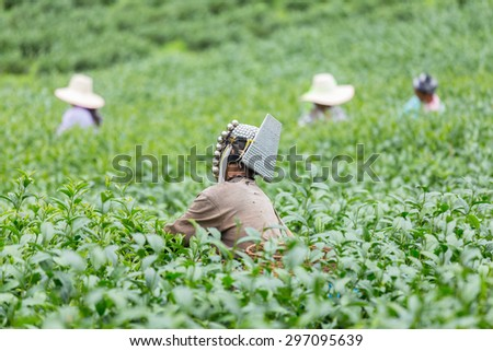 Agriculture. Picking tea in the tea plantations. - stock photo