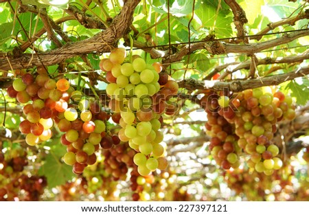 Agriculture product at Phan Rang vineyard, Vietnam, vine plant with bunch of ripe red grape, green leaf in garden, this fruit very nutrition, rich vintamin, healthy and is raw to make wine - stock photo