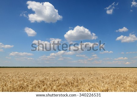 Agriculture, wheat field ready for harvest with blue sky and clouds - stock photo