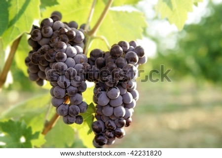 Agriculture wine red grapefruit field in Spain - stock photo