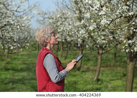 Agronomist or farmer examine blooming plum trees in orchard, using tablet - stock photo