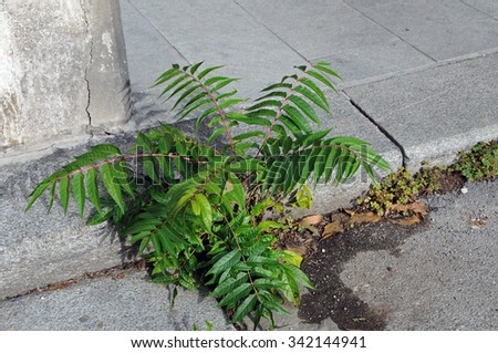 Ailanthus altissima (tree of heaven, ghetto palm, tree of hell) is a fast growing invasive plant in Europe and America. It grows out of the cracks and roots can cause damage to pavement. - stock photo
