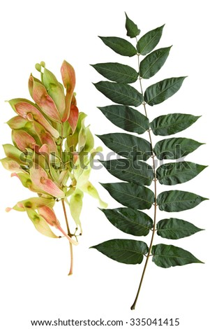 Ailanthus Altissima Tree of Heaven leaf and Fruit  isolated on white background - stock photo