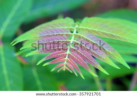 Ailanthus altissima. Young leaves of a plant - stock photo