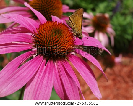 aimage of a butterfly sucking the necker of a purple cornflower - stock photo
