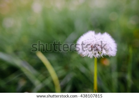 Air dandelions on a green field. Spring background