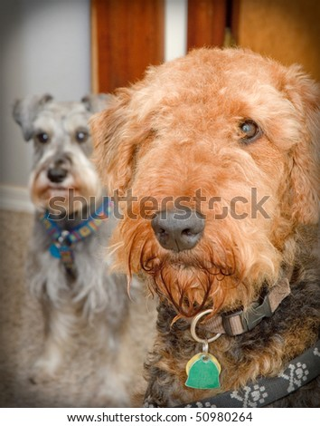 Airedale terrier close up with schnauzer in the background - stock photo