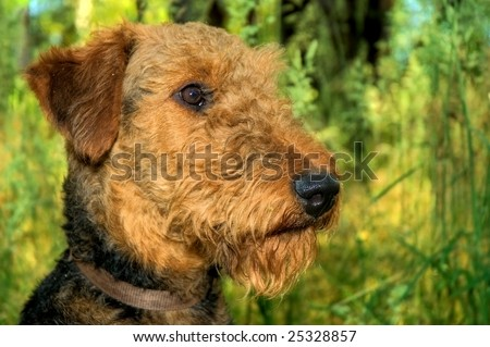 Airedale terrier dog, in profile, posed in front of a green meadow. - stock photo