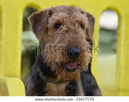 Airedale terrier dog outdoors at a park - stock photo