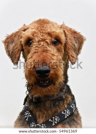 Airedale terrier dog portrait close up white background