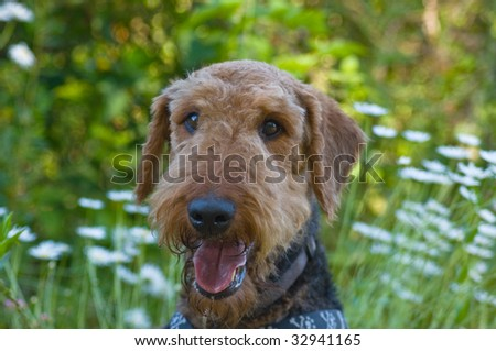 Airedale terrier dog posing in front of summer time backdrop of daisies - stock photo