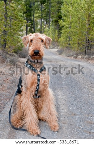 Airedale terrier dog sits on a gravel road with ponderosa pine trees in the background - stock photo