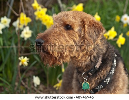 Airedale terrier dog sniffing the air in a spring setting with daffodils - stock photo