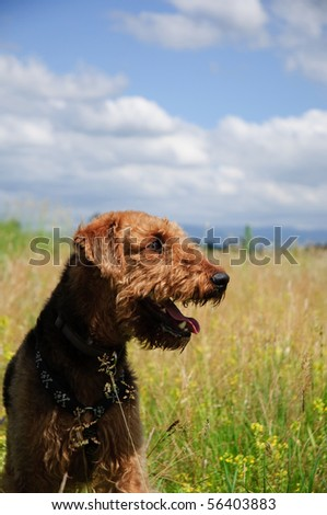 Airedale terrier dog standing  in a grass field with blue skies and white clouds in background