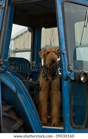 Airedale terrier dog standing inside a blue tractor in a rural setting. - stock photo