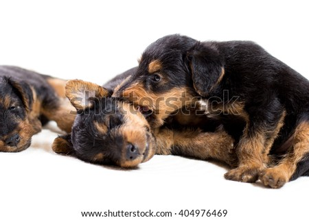 Airedale terrier puppy are playing