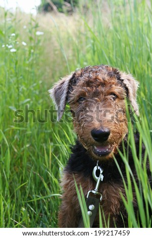 Airedale Terrier puppy on the leash in green grass, outdoor - stock photo
