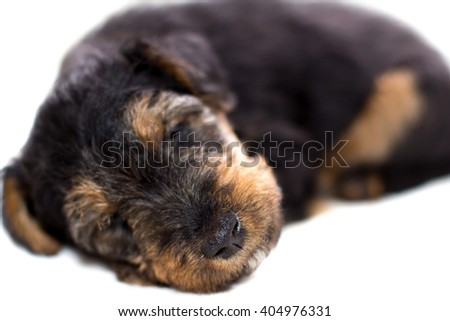 Airedale terrier puppy sleeping close-up - stock photo