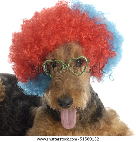 airedale terrier wearing colorful clown wig and heart shaped glasses on white background - stock photo