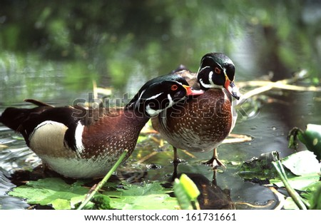 aix sponsa, wood duck - stock photo