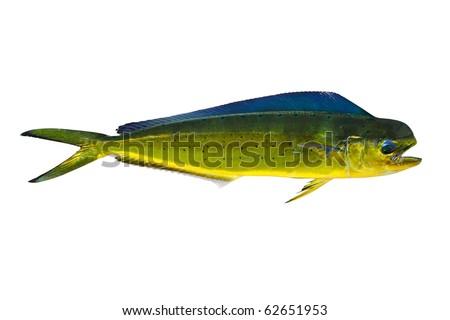 Aka Dorado dolphin fish mahi-mahi Coryphaena Hippurusl isolated on white - stock photo