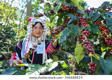 Akha hill picking arabica coffee berries in red and green on its branch tree at plantation - stock photo