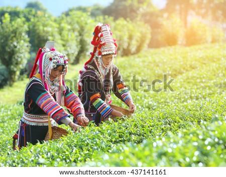 Akha Women from Thailand picking tea leaves on tea plantation at Chui Fong , Chiang Rai, Thailand. - stock photo