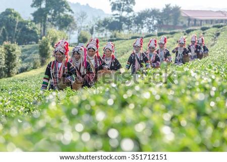 Akha Women from Thailand walking in tea plantation at Chui Fong , Chiang Rai, Thailand. - stock photo