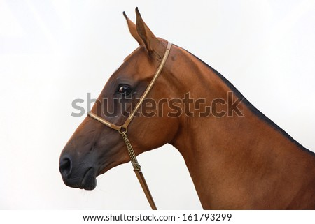 Akhal-teke (akhalteke) horse portrait with golden bridle in white background - stock photo
